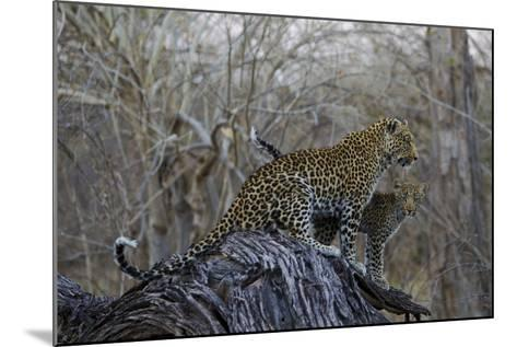 A Leopard and Her Cub Sitting on and Fallen Tree and Looking Around-Beverly Joubert-Mounted Photographic Print