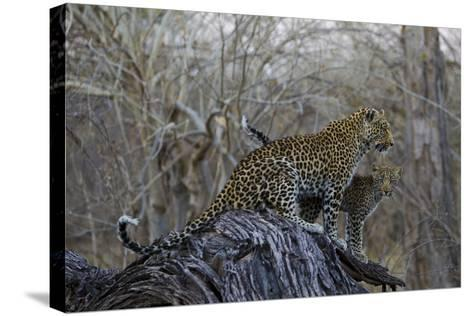 A Leopard and Her Cub Sitting on and Fallen Tree and Looking Around-Beverly Joubert-Stretched Canvas Print