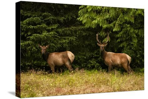 An Elk Pair in a Meadow-Cesare Naldi-Stretched Canvas Print