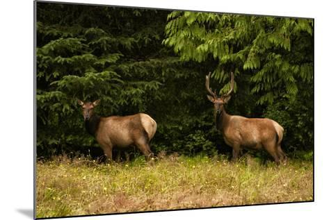 An Elk Pair in a Meadow-Cesare Naldi-Mounted Photographic Print