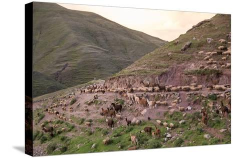 A Herd of Llamas, Alpacas and Sheep Round a Mountain Bend in Peru-Erika Skogg-Stretched Canvas Print