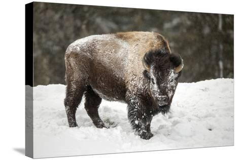 Portrait of a Snow-Dusted American Bison, Bison Bison, after a Refreshing Roll in the Snow-Robbie George-Stretched Canvas Print