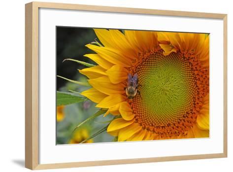 A Bee on a Sunflower-Donna O'Meara-Framed Art Print