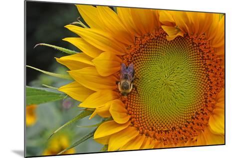 A Bee on a Sunflower-Donna O'Meara-Mounted Photographic Print