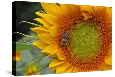 A Bee on a Sunflower-Donna O'Meara-Stretched Canvas Print