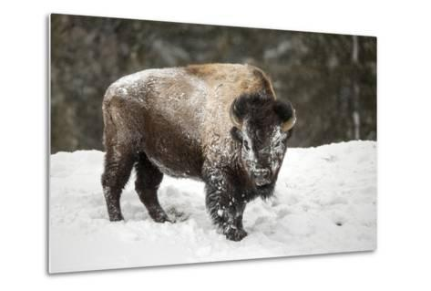 Portrait of a Snow-Dusted American Bison, Bison Bison, after a Refreshing Roll in the Snow-Robbie George-Metal Print