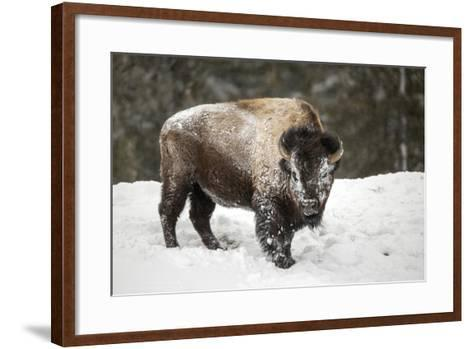 Portrait of a Snow-Dusted American Bison, Bison Bison, after a Refreshing Roll in the Snow-Robbie George-Framed Art Print