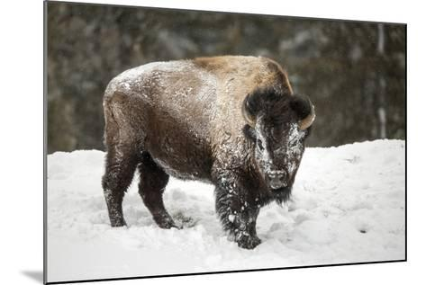 Portrait of a Snow-Dusted American Bison, Bison Bison, after a Refreshing Roll in the Snow-Robbie George-Mounted Photographic Print
