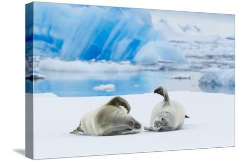 Two Crabeater Seals Lying on an Ice Floe in Grandidier Channel, Antarctica-Ralph Lee Hopkins-Stretched Canvas Print