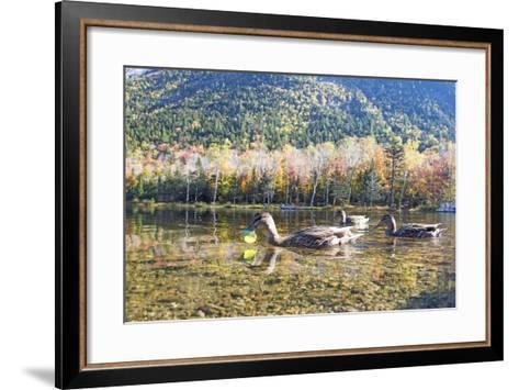 Mallard Hens, Anas Platyrhynchos, Nibble on Aquatic Plants-Robbie George-Framed Art Print