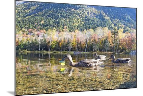 Mallard Hens, Anas Platyrhynchos, Nibble on Aquatic Plants-Robbie George-Mounted Photographic Print