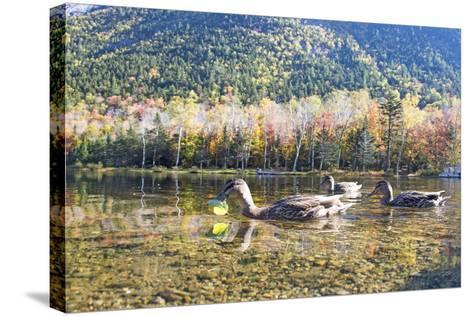 Mallard Hens, Anas Platyrhynchos, Nibble on Aquatic Plants-Robbie George-Stretched Canvas Print