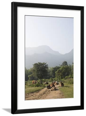 Cattle Lie in the Middle of a Road at the Nilgiri Foothills-Kelley Miller-Framed Art Print