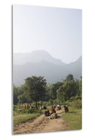 Cattle Lie in the Middle of a Road at the Nilgiri Foothills-Kelley Miller-Metal Print