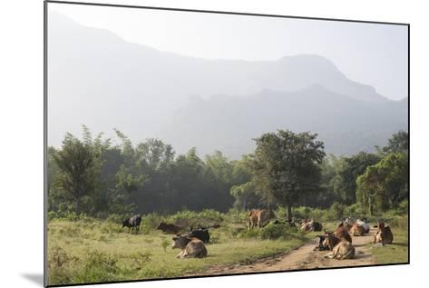 Cattle Lie in the Middle of a Road at the Nilgiri Foothills-Kelley Miller-Mounted Photographic Print