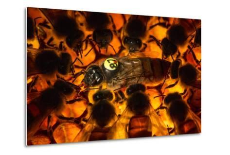 Encircled by Nurse Bees, a Queen Honeybee, Apis Mellifera, in an Experimental Mite-Resistant Colony-Anand Varma-Metal Print