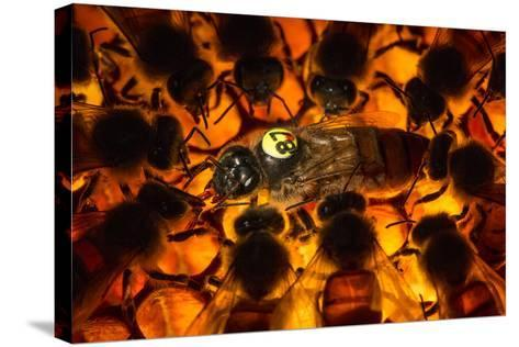 Encircled by Nurse Bees, a Queen Honeybee, Apis Mellifera, in an Experimental Mite-Resistant Colony-Anand Varma-Stretched Canvas Print