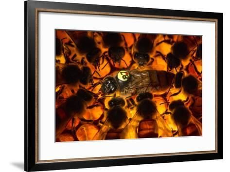 Encircled by Nurse Bees, a Queen Honeybee, Apis Mellifera, in an Experimental Mite-Resistant Colony-Anand Varma-Framed Art Print