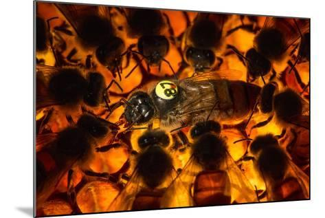 Encircled by Nurse Bees, a Queen Honeybee, Apis Mellifera, in an Experimental Mite-Resistant Colony-Anand Varma-Mounted Photographic Print