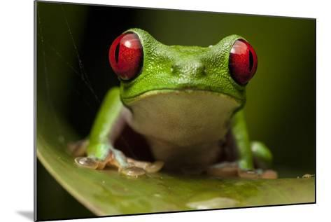 Portrait of a Red-Eyed Tree Frog, Agalychnis Calidryas-Robin Moore-Mounted Photographic Print