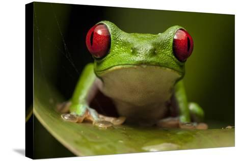 Portrait of a Red-Eyed Tree Frog, Agalychnis Calidryas-Robin Moore-Stretched Canvas Print
