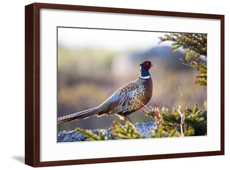 Portrait of a Ring-Necked Pheasant, Phasianus Colchicus-Robbie George-Framed Art Print