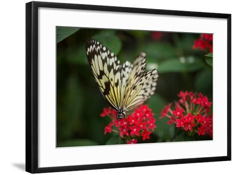 A Large Tree Nymph, Idea Leuconoe, in the Butterfly Rainforest, Florida Museum of Natural History-Joel Sartore-Framed Art Print