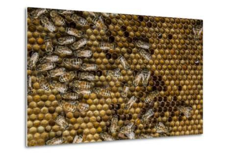 Honeybees, Apis Mellifera, from a Uc Davis Research Colony-Anand Varma-Metal Print