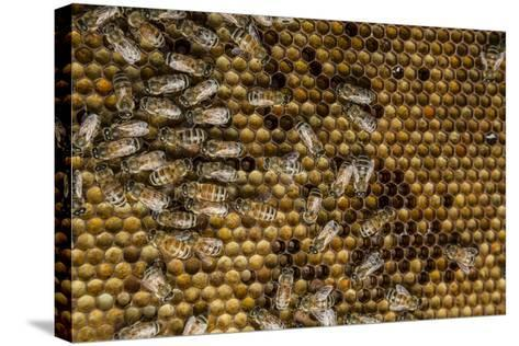 Honeybees, Apis Mellifera, from a Uc Davis Research Colony-Anand Varma-Stretched Canvas Print