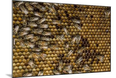 Honeybees, Apis Mellifera, from a Uc Davis Research Colony-Anand Varma-Mounted Photographic Print