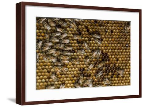 Honeybees, Apis Mellifera, from a Uc Davis Research Colony-Anand Varma-Framed Art Print