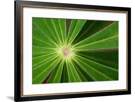Close Up of the Center of a Whorl of Leaves on a Lupine Plant-Darlyne A^ Murawski-Framed Art Print