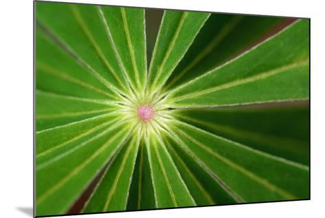 Close Up of the Center of a Whorl of Leaves on a Lupine Plant-Darlyne A^ Murawski-Mounted Photographic Print