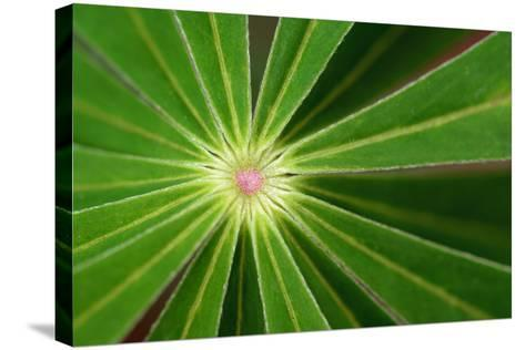 Close Up of the Center of a Whorl of Leaves on a Lupine Plant-Darlyne A^ Murawski-Stretched Canvas Print