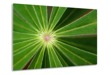Close Up of the Center of a Whorl of Leaves on a Lupine Plant-Darlyne A^ Murawski-Metal Print