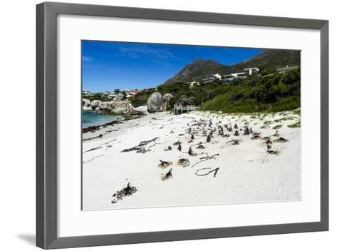 A Nesting Colony of African Penguins on a Beach Near a Towns Residential Estate-Jason Edwards-Framed Art Print