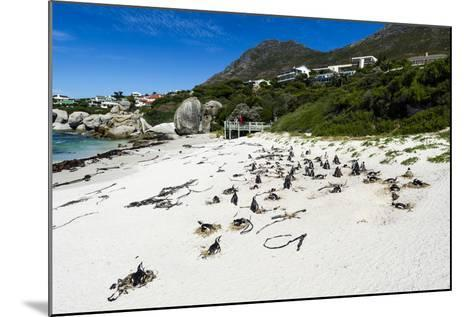 A Nesting Colony of African Penguins on a Beach Near a Towns Residential Estate-Jason Edwards-Mounted Photographic Print