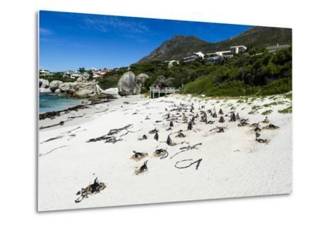A Nesting Colony of African Penguins on a Beach Near a Towns Residential Estate-Jason Edwards-Metal Print