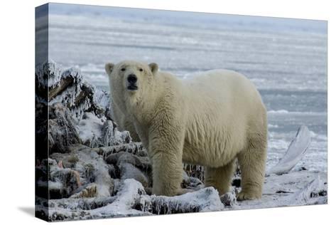 A Polar Bear Feeds on a Whale Carcass in Kaktovik, Alaska-Cristina Mittermeier-Stretched Canvas Print