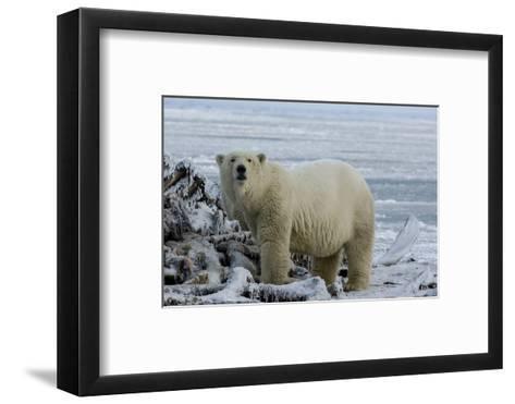 A Polar Bear Feeds on a Whale Carcass in Kaktovik, Alaska-Cristina Mittermeier-Framed Art Print