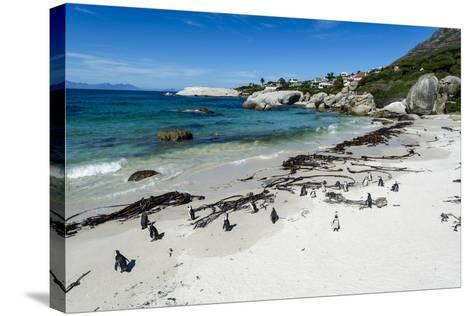 A Nesting Colony of African Penguins on a Beach Near a Towns Residential Estate-Jason Edwards-Stretched Canvas Print
