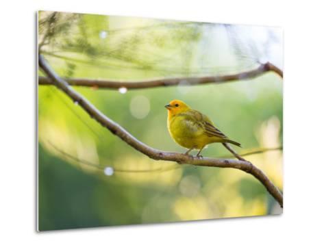 A Saffron Finch, Sicalis Flaveola, Resting in a Tropical Scene in the Atlantic Rainforest-Alex Saberi-Metal Print
