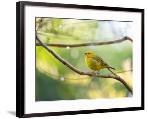 A Saffron Finch, Sicalis Flaveola, Resting in a Tropical Scene in the Atlantic Rainforest-Alex Saberi-Framed Art Print