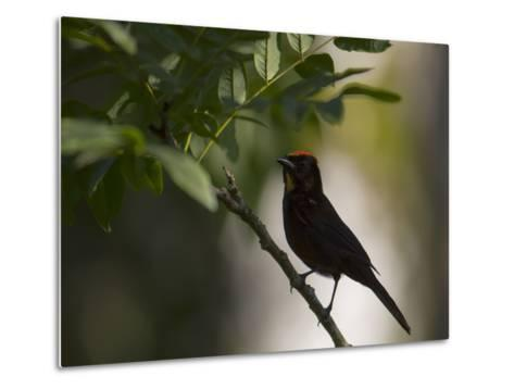 A Flame-Crested Tanager, Tachyphonus Cristatus, Sits on a Branch in the Atlantic Rainforest-Alex Saberi-Metal Print
