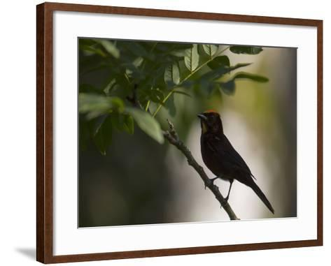 A Flame-Crested Tanager, Tachyphonus Cristatus, Sits on a Branch in the Atlantic Rainforest-Alex Saberi-Framed Art Print