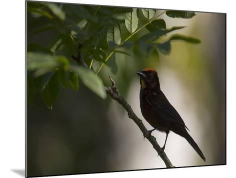 A Flame-Crested Tanager, Tachyphonus Cristatus, Sits on a Branch in the Atlantic Rainforest-Alex Saberi-Mounted Photographic Print