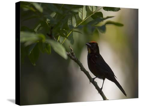 A Flame-Crested Tanager, Tachyphonus Cristatus, Sits on a Branch in the Atlantic Rainforest-Alex Saberi-Stretched Canvas Print