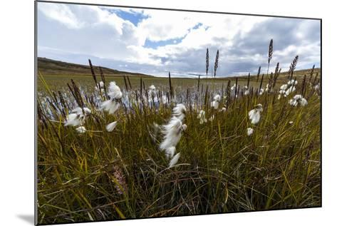 Fluffy Cottongrass Seed Heads Along a Stream-Jason Edwards-Mounted Photographic Print