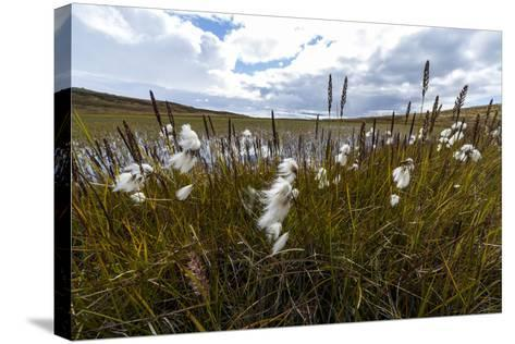 Fluffy Cottongrass Seed Heads Along a Stream-Jason Edwards-Stretched Canvas Print