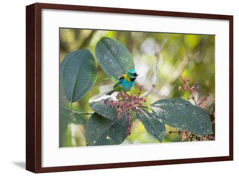 A Green-Headed Tanager Feeding on Berries of a Tree in the Atlantic Rainforest-Alex Saberi-Framed Art Print